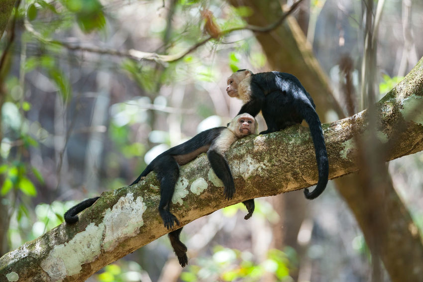 White-Faced Capuchins (Cebus capucinus) resting during the midday heat in Corcovado National Park, Costa Rica Animal Themes Animal Wildlife Animals In The Wild Capuchin Monkey Corcovado Corcovado National Park Costa Rica Monkey Nature Outdoors White-Faced Capuchin Wildlife