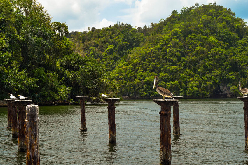 Pelicans sitting on stakes in the water, los Haitises, Caribbean sea, nature reserve Los Haitises National Nature Animals Bird Birds Caribbean Day Forest Green Color Growth Island Mangrove Nature No People Ocean Outdoors Park Pelican Pelicans Reserve Sky Tree Water Wildlife