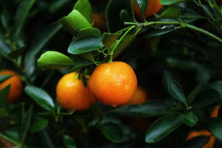 Close-up of orange fruits hanging on tree