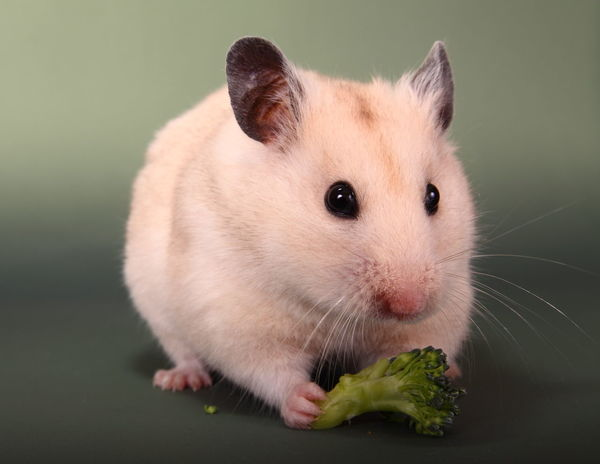 Syrian hamster eating broccoli Alertness Animal Broccoli Close-up Cute Cute Pets Feeding  Food Hamster Isolated Mammal Mammals One Pets Portrait Pretty Rodant Single Syrian Hamster  Vegatables Whisker Whiskers