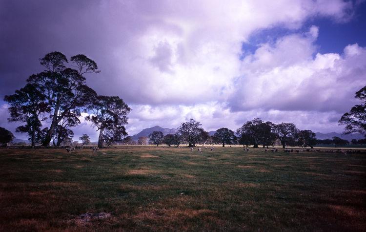 lomo style: grampians farmland, rural australia Australia Cloud Cloud - Sky Clouds Cloudy Dramatic Sky Farmland Field Grampians Grass Gum Trees Landscape Moody Sky National Park Nature Outdoors Sheep Sky Vistoria