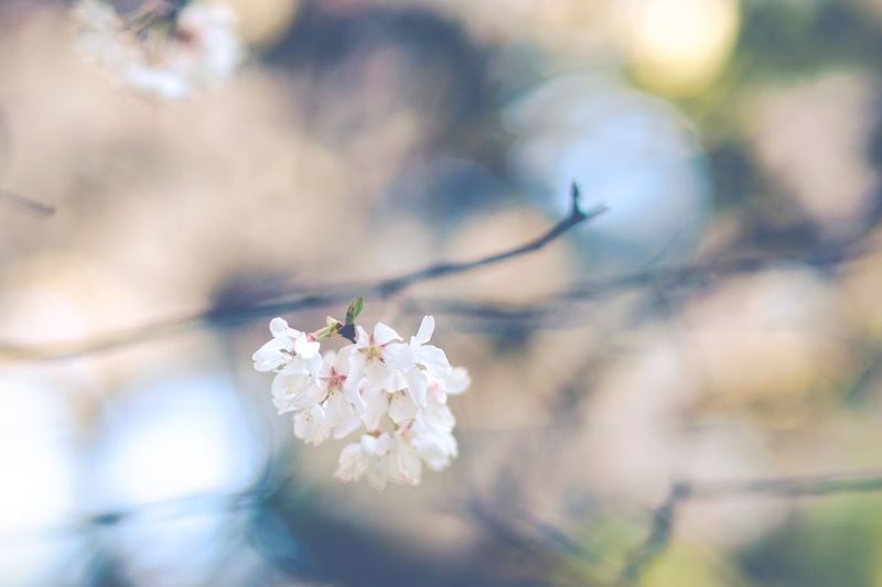 Sakura. Tokyo Tokyo,Japan Flower Flowering Plant Plant Beauty In Nature Freshness Fragility Vulnerability  Growth Springtime Nature Blossom Branch Focus On Foreground Flower Head