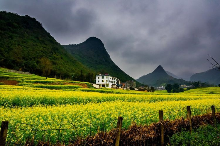 Canola field, rapeseed flower field with the mist in Luoping, China Luoping Rain Rapeseed Field Aerial View Agriculture Architecture Beauty In Nature Building Exterior Built Structure Canola Canola Field Cloud - Sky Crop  Cultivated Land Day Farm Field Fog Growth Hill Landscape Mist Mountain Mountain Range Nature No People Outdoors Plant Rapeseed Oil Rapeseed Yellow Tadaa Rural Scene Scenics Sky Tourism Tranquil Scene Tranquility Village