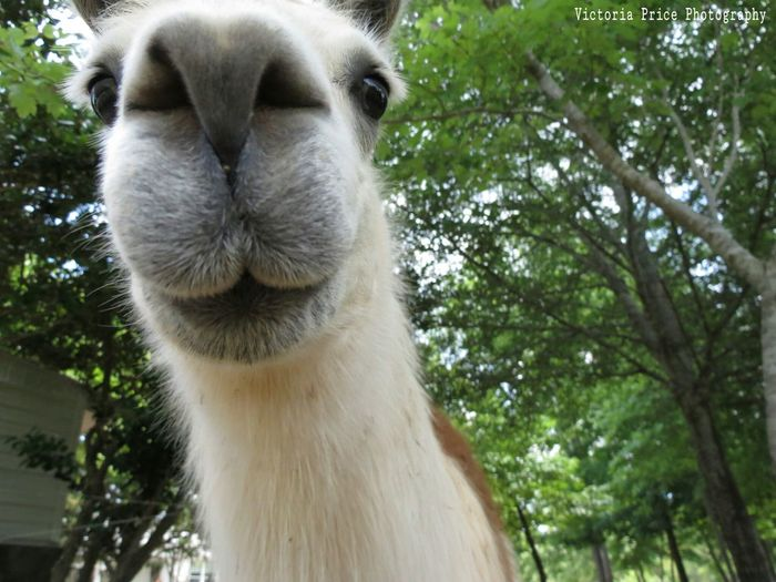 Nosy Llama Hello World Llama❤ Llama Face Photography Farm Life Farmanimals All Up In The Bank With The Funny Face  First Eyeem Photo