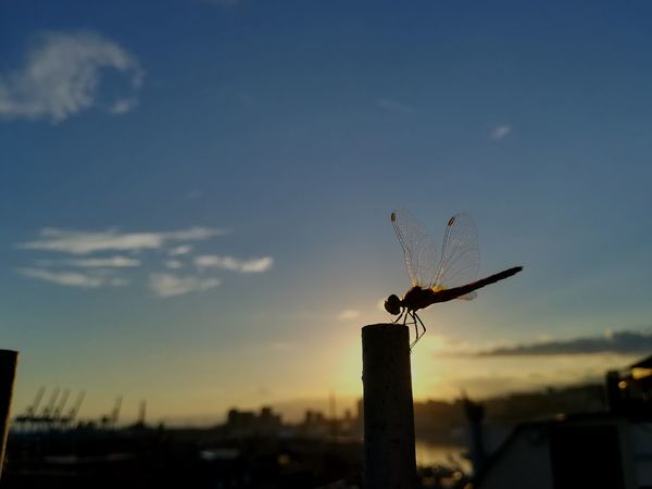 #sunset #insects #Dragonfly City Flying Sunset Silhouette Sky Animal Themes Cloud - Sky Spread Wings Dragonfly Flight Flapping