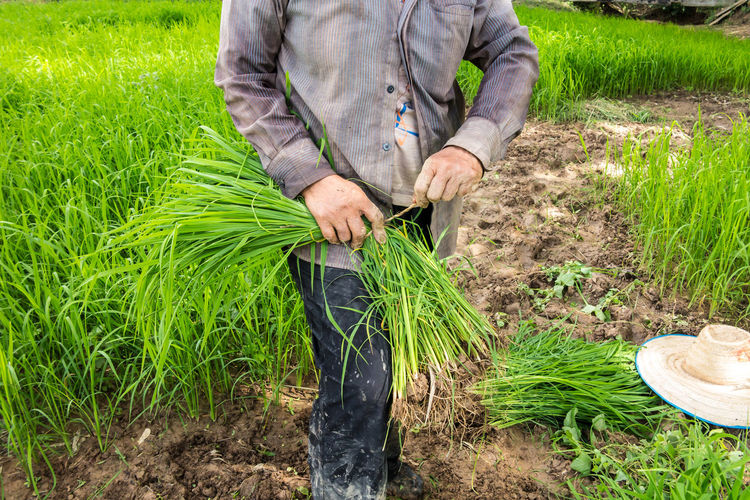 Agriculture Crop  Farm Farmer Field Holding One Person Plant Rice Field Rural Scene Working
