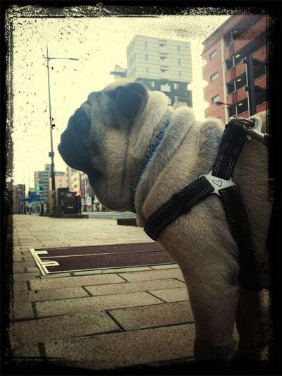 Pug Life  Pug Sitter Pug Life ❤ Pug Time メス求む☆彡