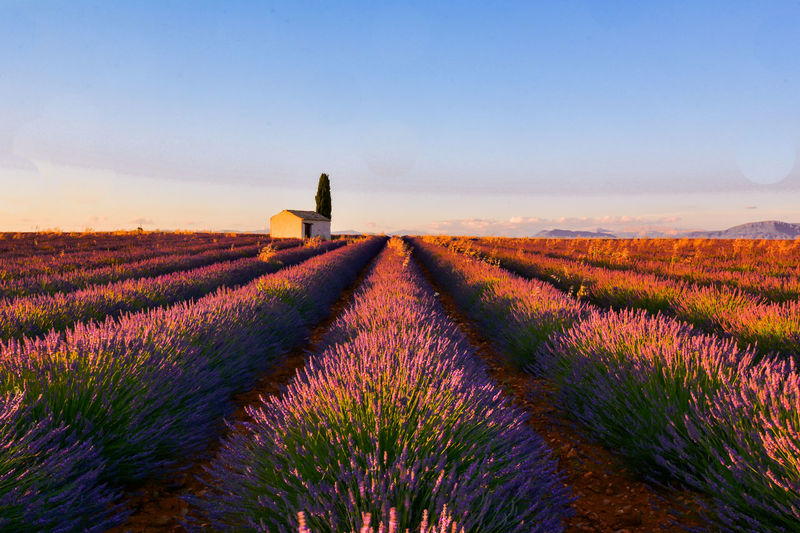 Scenic View Of Lavender Field Against Sky During Sunset At Valensole