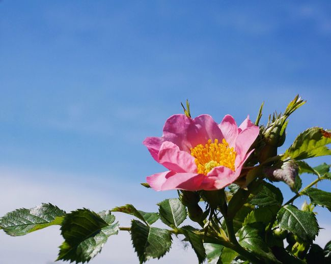 Low angle view of pink flowers blooming against sky
