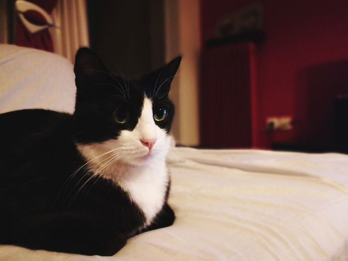 Domestic Cat Domestic Animals Pets Indoors  One Animal Portrait Close-up No People Tuxedocat Bed Pet Portraits EyeEmNewHere My Best Photo
