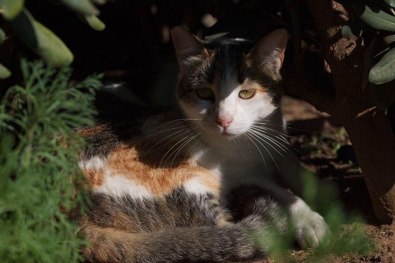 Tortoiseshell calico cat hiding from the midday sun in shrub vegetation Calico Kitten Tabby Kitten Tabby Cats Tabby Cat Calico Cat Tortiseshell Kitten Curious Kitten Cat Domestic Cat Feline Pets Mammal One Animal Domestic Domestic Animals Animal Eye Portrait Vertebrate Looking At Camera No People Close-up Whisker Indoors  Animal Body Part Looking