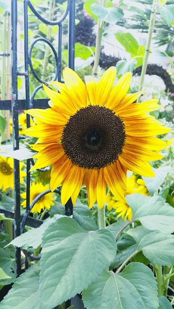 Flower Yellow Fragility Beauty In Nature Nature Flower Head Growth Plant Sunflower Petal Freshness Outdoors Day Pollen Seed No People Close-up New Zealand Wintergarden Greenhouse Nature Freshness Growth Beauty In Nature Plant