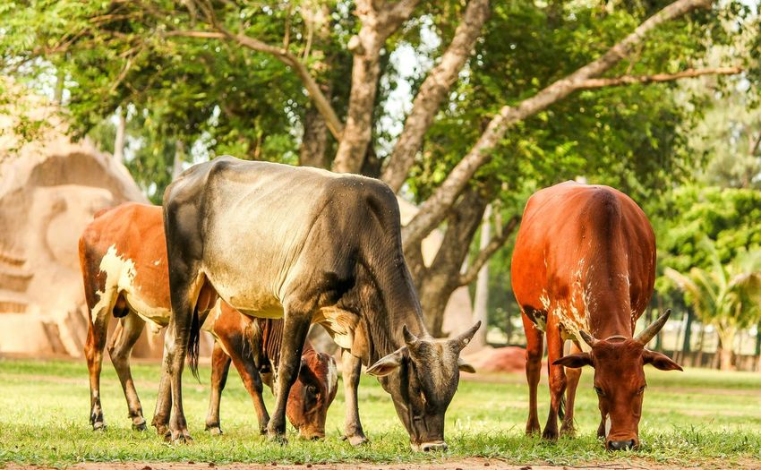 Animal Themes Mammal Standing Herbivorous Domestic Animals Vertebrate Two Animals Grass Togetherness Field Animals In The Wild Wildlife Full Length Grazing Front View Young Animal Animal Brown Livestock Zoology CreativePhotographer Cows In The Feilds Green Color Indian Photographer Natural Condition
