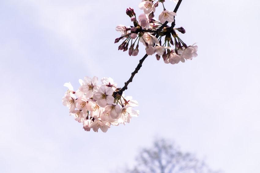 Cherry Blossoms City Park Hibiya Park Pink Flower Rx100 Sakura Sony Sony Rx100 Tokyo Tokyo,Japan Urban Spring Fever 桜 日比谷公園 春が来た
