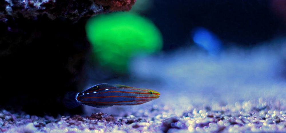 Animal Animal Themes Animal Wildlife Animals In The Wild Aquarium Goby Goby Fish Aquarium Photography Photography Undersea Life Coral Reef Scene Beauty In Nature Blue Close-up Coral Outdoors Sea Sea Life Swimming UnderSea Underwater Water Aquatic Reef Tank