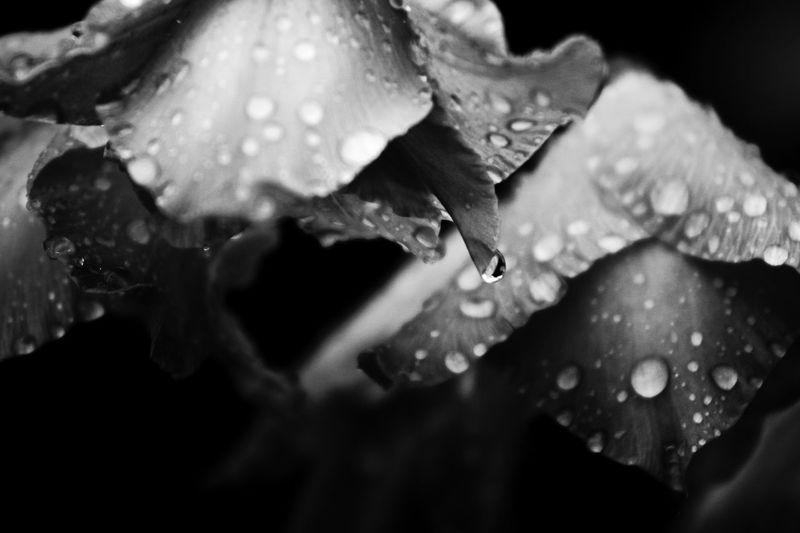 Maximum Closeness wet flowers after the rain Flower Nature Water Blackandwhite