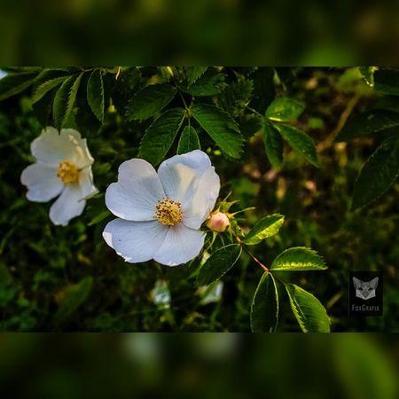 Christrosen Christrose Fotografie Salzgitter Christmasrose Easterrose Natur Naturephotography Flowers Salzgitter