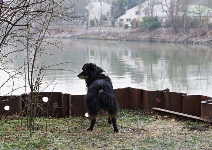 Animal Themes Australian Shepherd  Australianshepherd Chance Encounters Dog Domestic Animals Mini Aussie Nature No People One Animal Outdoors Paris Pets Seine River Seine River Banks