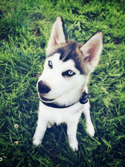 Boujour les filles 💋🐺 Huskyphotography Enjoying Life Eyeblue Husky ♡ Husky Dog Husky Puppy Siberian Husky