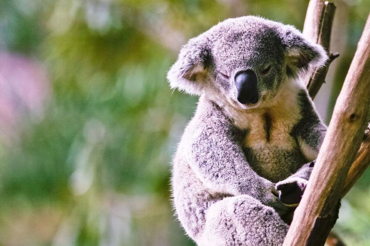 Portrait of koala bear