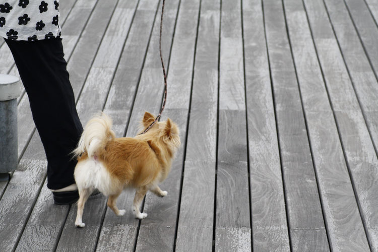 Adult Adults Only Close-up Day Dog Domestic Animals Friendship Hardwood Floor Human Body Part Human Leg Lifestyles Low Section Mammal One Animal One Person Outdoors People Pets Pomeranian Standing Walking The Dog Women Wood - Material