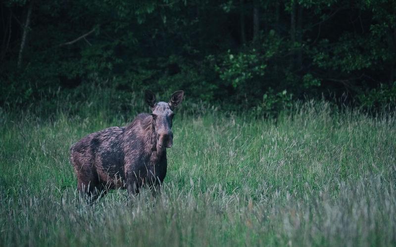 Moose On Field