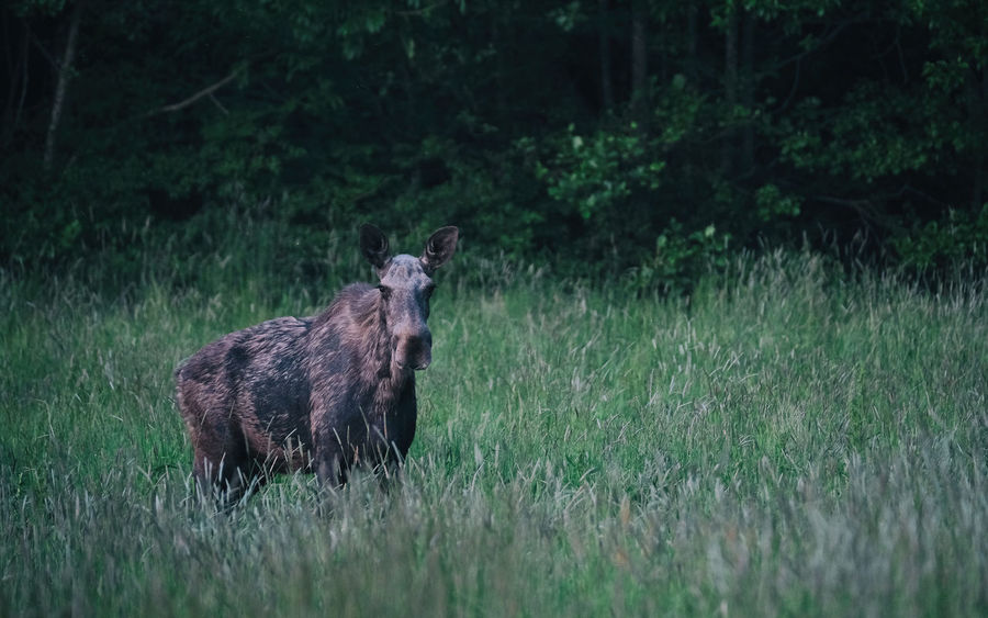 Mamma Älg Aker Alg Animal Themes Animal Wildlife Animals In The Wild EyeEm Nature Lover Eyeem Sweden Field FUJIFILM X-T2 Fujilove Grass Kungshamn Moose Nature No People Outdoors Sotenäs Standing Svensk Sommar Swedish Summer Taking Photos X-t2 XF100-400 Xf100400 älgko Lost In The Landscape