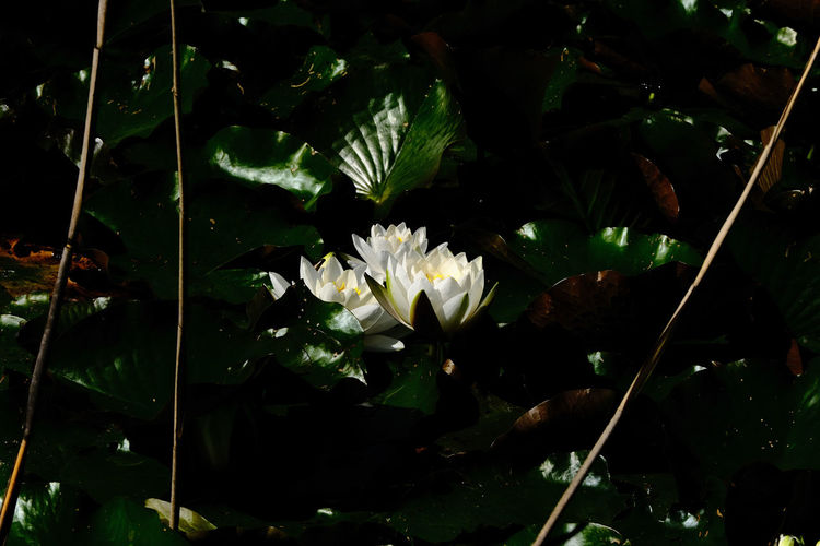 Close-up of white flowering plant floating on water