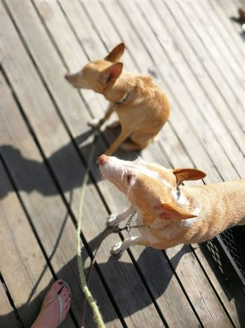 Sundeck Beach Sun Podenco Andaluz Podenco Two Dogs Sunbathing Summer Lake Flipflops Foot Bearfoot EyeEm Selects Pets Close-up Boardwalk Dog Dog Lead Lakeside