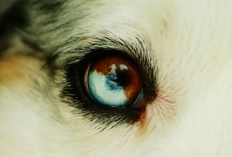 In the eye of the sheppherd. Sweden EyeEm Gallery Eyem Best Shots Macro Dog Eyes OpenEdit Photography Popular Beautiful
