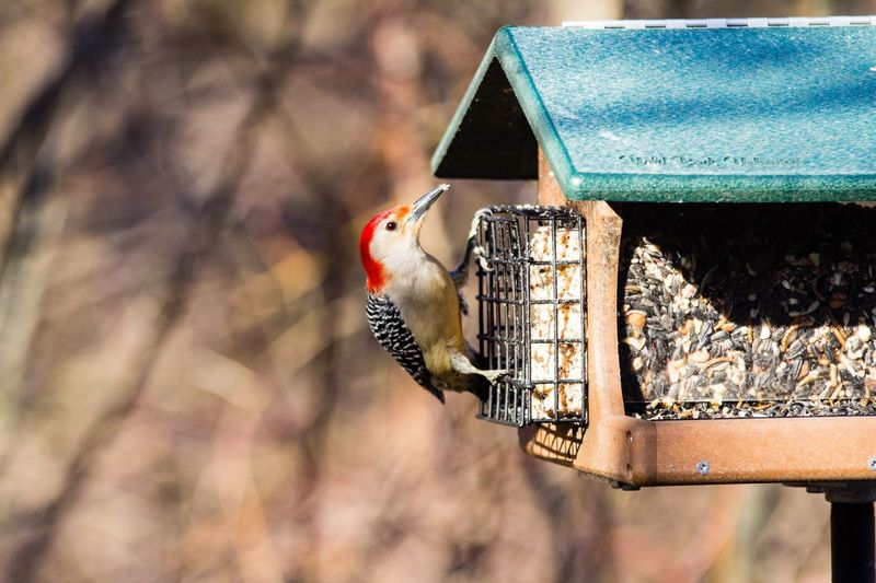 Woodpecker perching on bird feeder