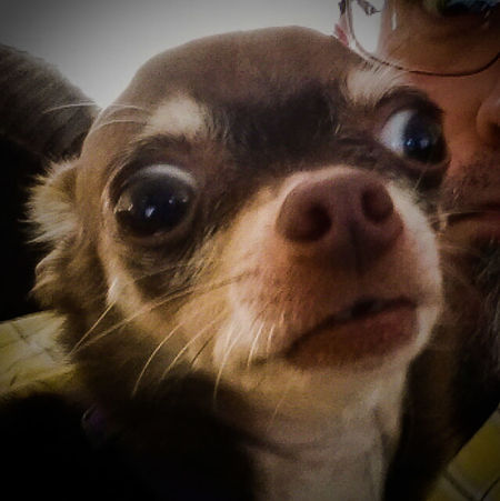 Looks Good To Me Crazy Eyes I've Got My Eye On You, and you too. Odie My Dogs Are Cooler Than Your Kids Chihuahua Love ♥ Chihuahua Lovers Chihuahua Chihuahua Lovers. Chihuahuas<3 Happy Dogs Hanging Out Living The High Life