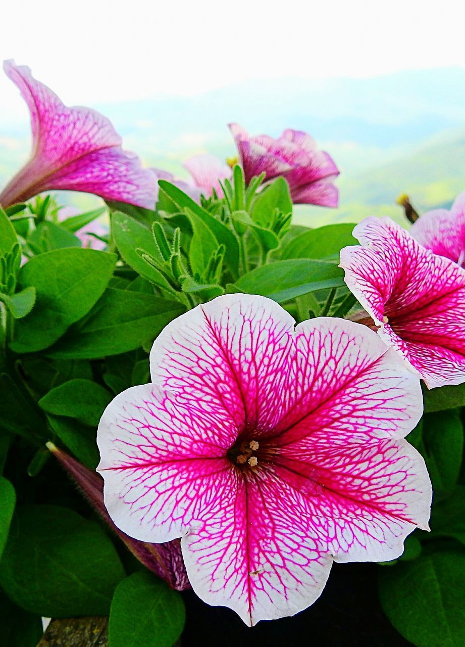 flowering plant, flower, fragility, vulnerability, plant, flower head, petal, inflorescence, beauty in nature, freshness, growth, close-up, pink color, plant part, leaf, petunia, nature, focus on foreground, day, no people, purple, springtime, pollen