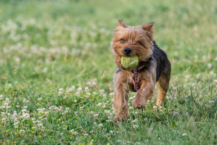 Dog playing on grassy field