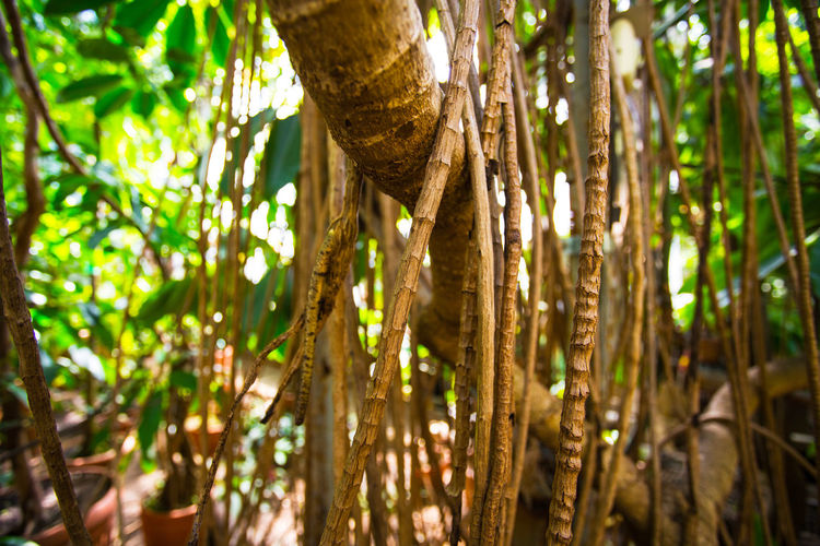 Close-up of bamboo trees in forest