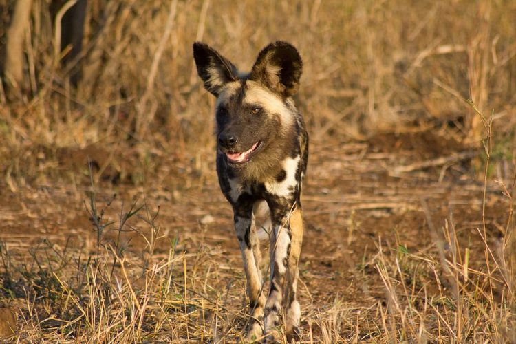 Front View Of African Wild Dog Walking On Field