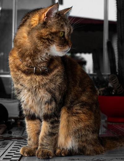 Close-up Cat Domestic Cat Persian Cat  Tabby Cat Whisker Feline Pets Domestic Animals Kitten Pet Collar Ginger Cat Yellow Eyes