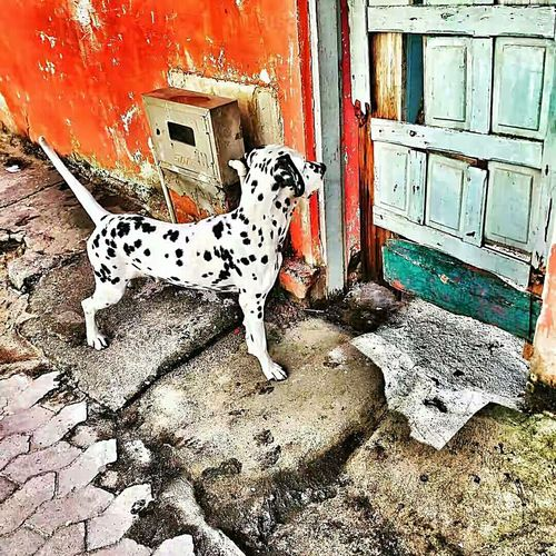 Animal Themes Domestic Animals Dalmatian Dog My Dog G4plus