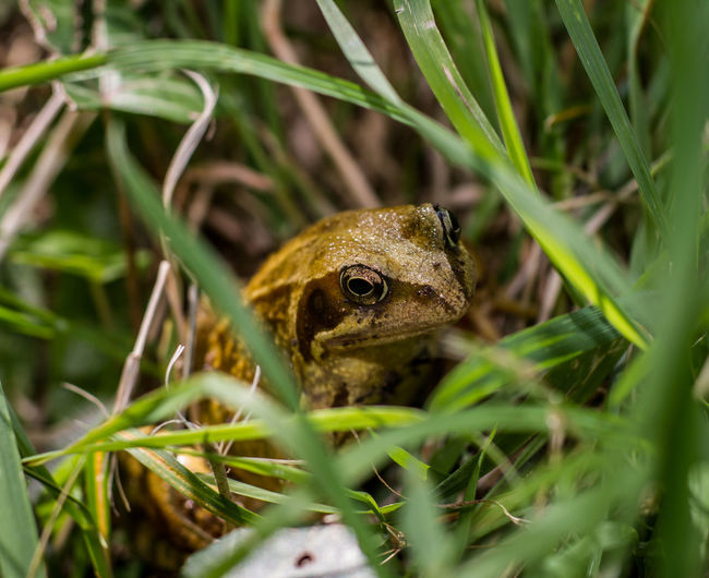 Animal Themes Animal Wildlife Animals In The Wild Beauty In Nature Close-up Day Grass Green Color Growth Leaf Nature No People One Animal Outdoors Plant Reptile Selective Focus Frog Frogs Frog Eyes Grassy Grassland Garden Garden Photography Froggy