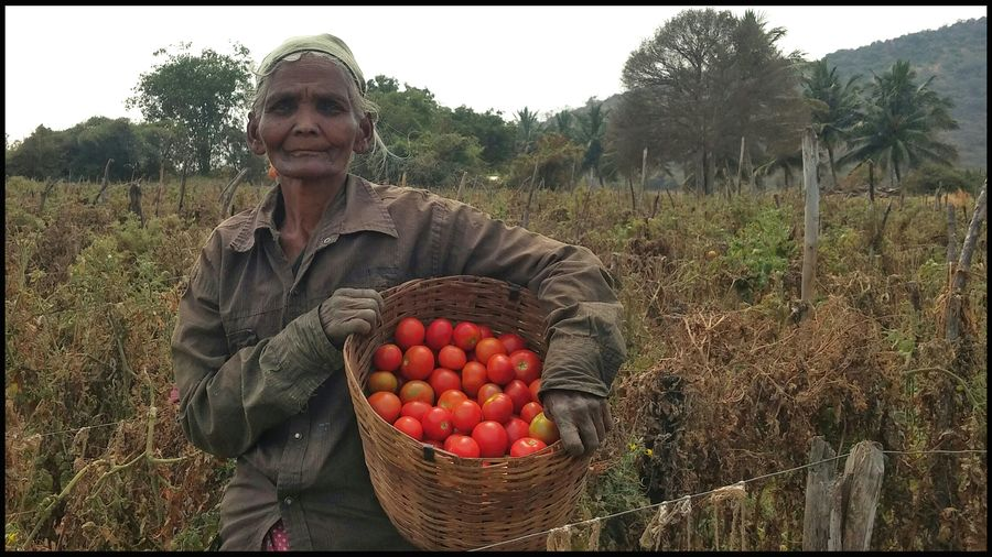 Farmers Day 2016 Agriculture Harvesting Rural Scene Farmer Crop  Smiling Mature Adult Field Tree Fruit Looking At Camera Portrait Food Healthy Eating Tomatoes Senior Adult Adult Adults Only Healthy Lifestyle Mobilephotography India