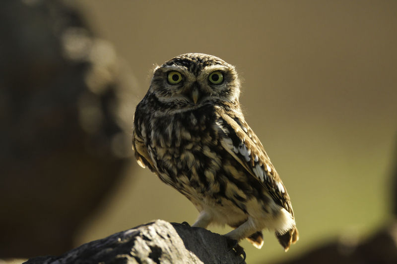 Animal Themes Animal Wildlife Animals In The Wild Athena Noctua Beak Beauty In Nature Bird Bird Of Prey Bird Photography Birds Of EyeEm  Close-up Day European Birds Little Owl Nature Nature Photograhy Nature Photography No People One Animal Outdoors Owl Perching Western Palearctic