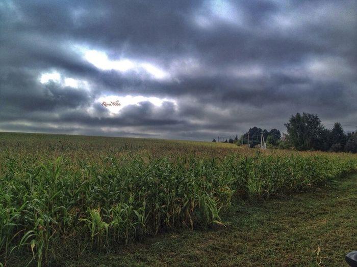 Царица полей. Corn. Moscow region. Nature Food Sanctions :-)