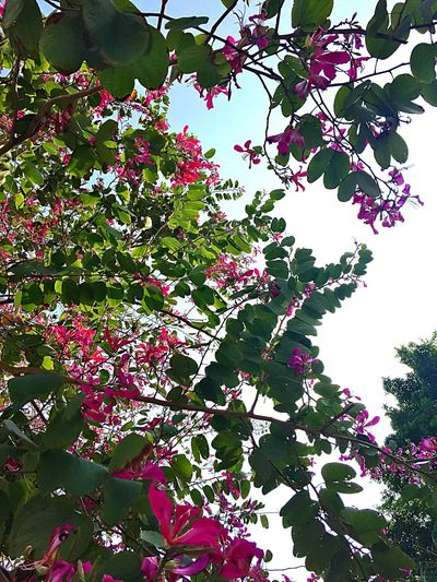 Looking Up! Trees Bauhinia Flowery Shooting Like Painting Wanderlust Sweet November ASIA Sunny Wandering Around Aimlessly Wanderer Walking Around Green EyeEm Nature Lover
