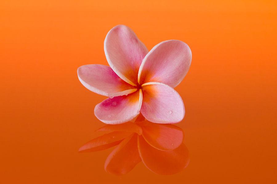Blooming Blooming Flower Close-up Flower Flower Head Frangipani Frangipani Flower Nature Orange Orange Color Orange Flower Plant Refection Refelctions