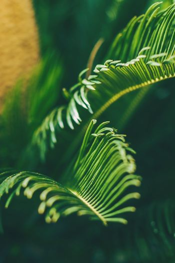 Palm three with fresh leaves. Macro blured. EyeEm Selects EyeEm Best Shots EyeEmNewHere EyeEm Nature Lover Plant Nature Macro Light Palm Tree Frond Leaf Fern Tree Palm Leaf Close-up Green Color Plant Blooming Plant Life Botany Fragility The Creative - 2018 EyeEm Awards My Best Travel Photo Capture Tomorrow Moments Of Happiness It's About The Journey
