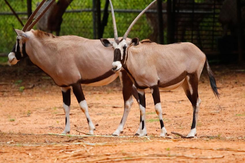 Deer Oryx Antelopes Zoo Animal Animal Themes Antelope Day Domestic Animals Livestock Mammal Nature No People Oryx Oryx Antelope Oryx Gazella Safety Standing