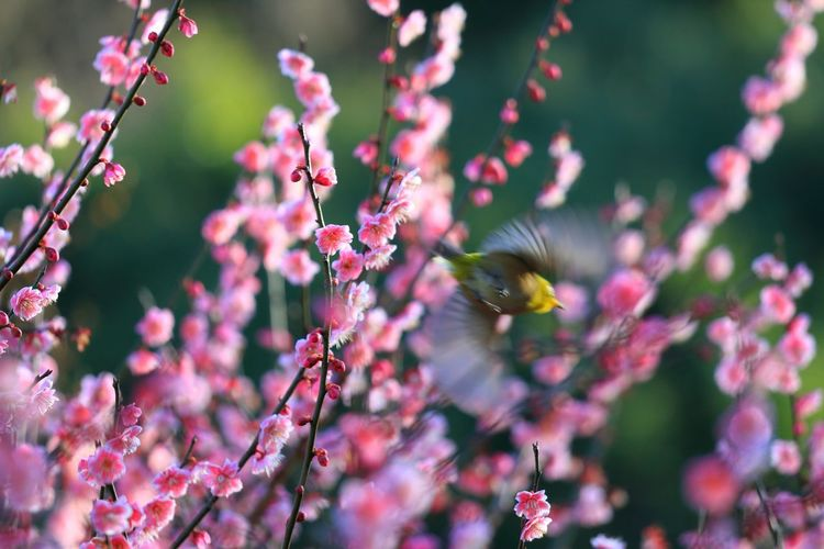 Close-up of bird flying amidst pink flowering plants