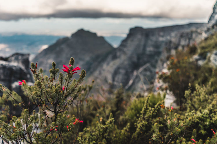 Close-up of red flowering plants against mountain