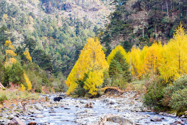 ASIA Autumn Nature Travel Tree Yak Bhutan Clouds Fall Landscape Larch Merak Sakteng Trek Off The Beaten Path One Animal Remote River Rocks Tourism Trek Water Wildlife