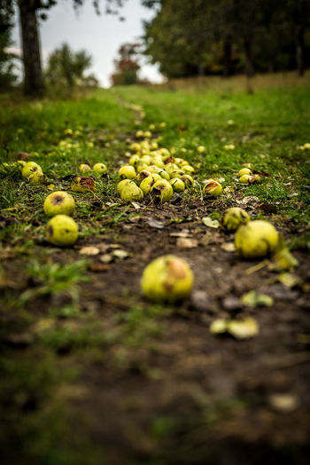 Close-up of apples on field